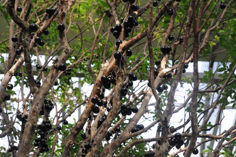 """嘉宝果,俗称树葡萄。是一种常绿小乔木,生长缓慢,适应亚热带气候条件。每年春、秋二季可多次开花结果。嘉宝果在树干上开花结果,果实颜色从绿变红再变紫,最后成紫黑色的成熟果,果实象是挂在树干上的葡萄,所以俗称""""树葡萄""""。这些葡萄可以食用,而且口味独特,有山竹、菠萝、释迦果及番石榴等四种水果的综合口味。所含营养非常丰富,每100g果实可食用部分含热量45."""